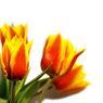 15_tulipany zihane