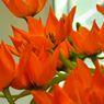 05_oranzove tulipany