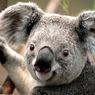 Koala.jpg