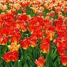 07_cervene tulipany